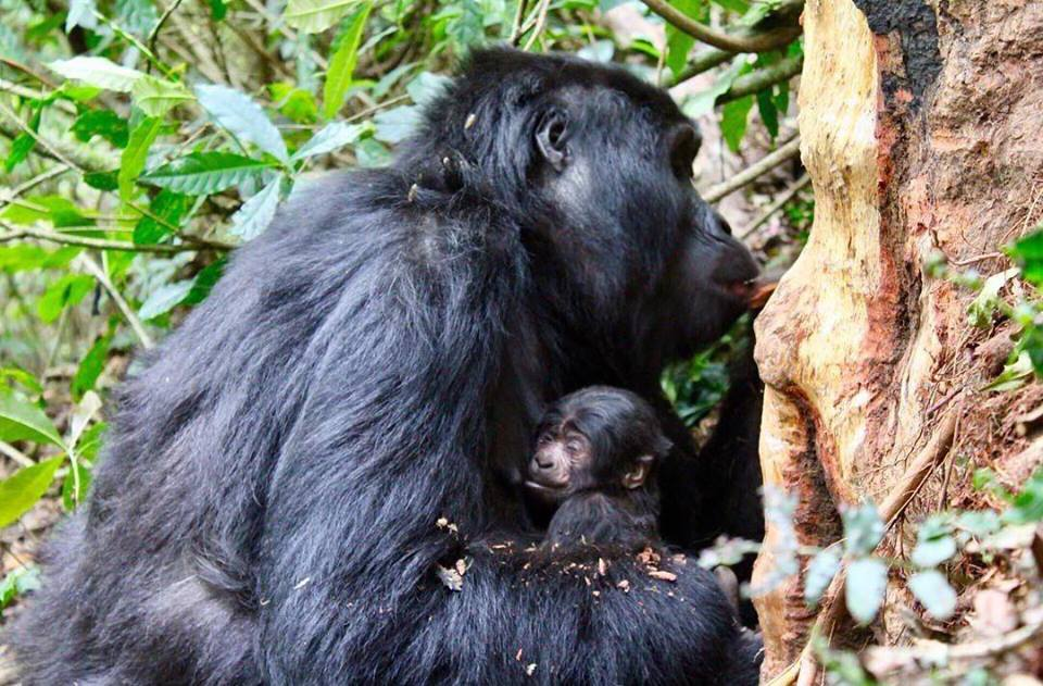 Baby Gorilla Mishaya