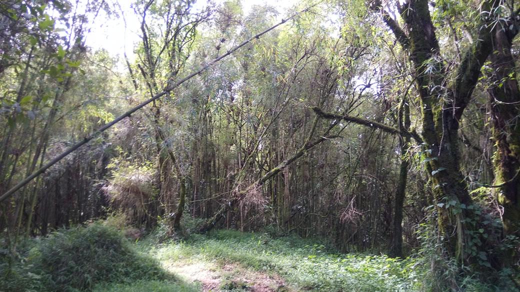 Bamboo Wooldlands