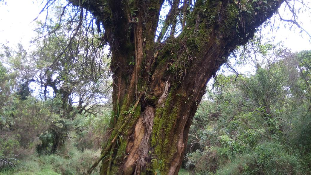 Mgahinga Trees