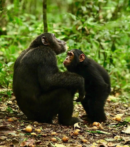 Chimpanzees tracking fees also increased