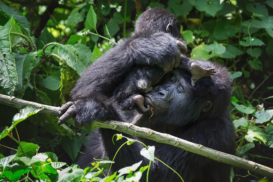 Female Mountain Gorilla in Bwindi National Park
