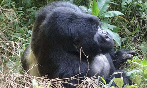 Mgahinga Mountain Gorilla