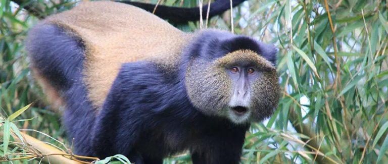 Mgahinga Golden Monkey