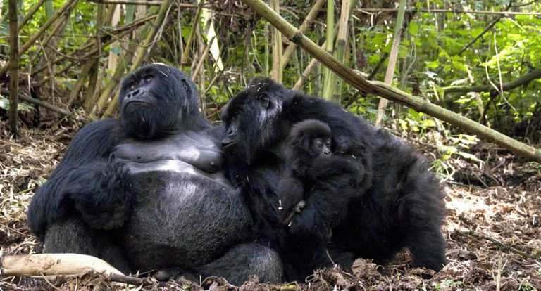 Mgahinga Gorillas
