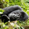 Waking Up the Mountain Gorillas