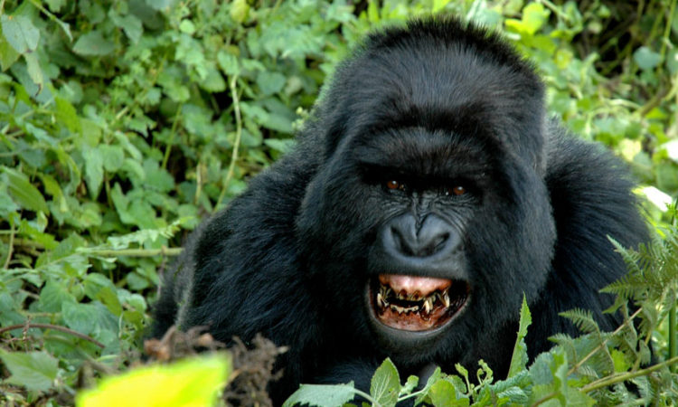 How Fo Gorillas Communicate